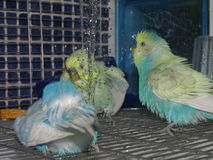 Cute colorful budgies having a shower stock images