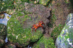 Cute colorful crab posing for camera. Royalty Free Stock Images