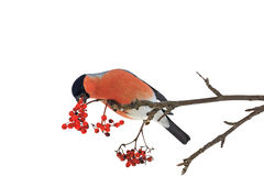 Cute colorful eurasian bullfinch eating red berries isolated on white royalty free stock image