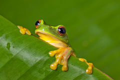 Cute colorful frog peeking over a leaf Royalty Free Stock Photos