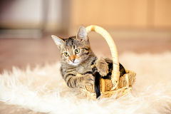 Cute Colorful kitten collapsed in a basket. Age of 2 months. Royalty Free Stock Image