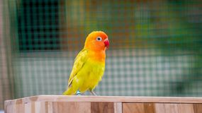 Cute and colorful lovebird on the breeding box royalty free stock image