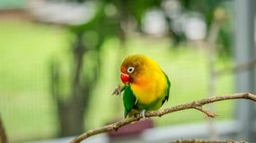 Cute and colorful lovebird perching on the branch royalty free stock photo