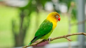 Cute and colorful lovebird perching on the branch stock photography