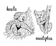 Cute  coloring page koala eucalyptus Royalty Free Stock Images