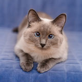 Cute Colorpoint Blue-eyed Cat Lying And Looking At Camera Stock Photo