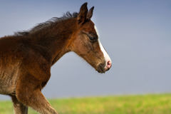 Free Cute Colt Portrait Royalty Free Stock Photography - 84896427