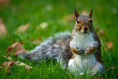 Cute Common Brown Squirrel Close-up Royalty Free Stock Image
