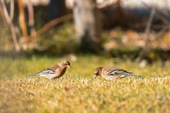 Cute Common Chaffinch passerine bird foraging grass for food on Stock Images