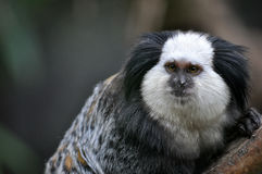 A cute of Common Marmoset or White - eared Marmoset. Stock Photo