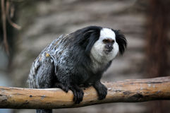 A cute of Common Marmoset or White - eared Marmoset. Royalty Free Stock Image