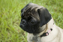 Cute Concern Pug. With pink collar against grass background Stock Photo