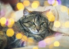 Portrait of cute contented cat lying on the bed surrounded by glitter and light. Cute contented cat lying on the bed surrounded by glitter and light stock photo