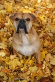 Continental bulldog sitting in autumn leaves royalty free stock images