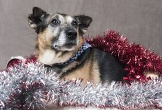 Cute Corgi dog relaxing surrounded by tinsel and Christmas decorations stock image