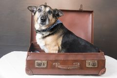 Cute Corgi dog sitting inside an old fashioned suitcase stock images