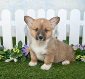 Corgi Puppy Royalty Free Stock Image