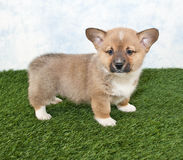 Corgi Puppy Stock Image