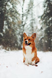 Cute corgi in the snowfall Stock Image