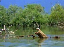 Cute cormorant on log in water Stock Photo