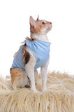 Cat Wearing Medical Pet Shirt After Surgery Royalty Free Stock Images