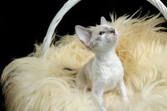 Cute Cornish Rex Kitten in Basket Royalty Free Stock Photography