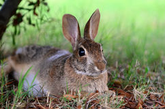 Cute cottontail bunny rabbit under tree Stock Photo