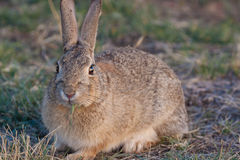 Cute Cottontail Rabbit Stock Photography