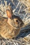 Cute Cottontail Rabbit Portrait. A close up of a a cute cottontail rabbit Royalty Free Stock Photography