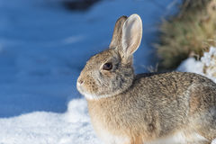 Cute Cottontail Rabbit Stock Photo