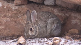 Cute Cottontail Rabbit stock video