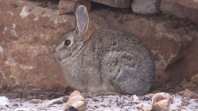 Cute Cottontail stock video
