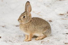 Cute Cottontail Rabbit in Snow Stock Image