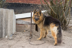 Cute country dog attached with short chain Royalty Free Stock Photo