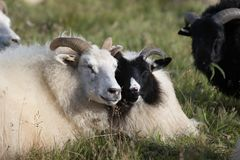 Cute couple of big white and black ram sheep lying in the field and enjoying the sunny day. Cute couple of big white and black ram sheep lying in the field and stock photography