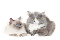 Cute couple of cats sit on white Stock Images