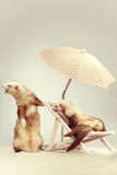 Cute couple of ferrets - portrait on beach chair in studio. Ferret couple portrait on beach chair in studio Stock Image