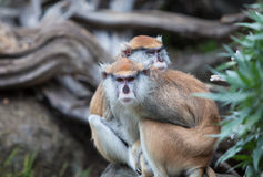 Cute couple - patas monkeys at San Francisco Zoo Royalty Free Stock Images