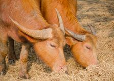Cute couple Red-brown Asian water buffalo eating a Straw in a rural area of Thailand. A Cute couple Red-brown Asian water buffalo eating a Straw in a rural area Stock Photo