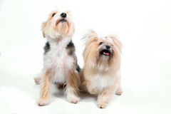 Cute couple small dogs Royalty Free Stock Photography