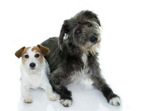CUTE COUPLE OF WHITE AND BLACK DOGS LYING DOWN ISOLATED ON WHITE stock images