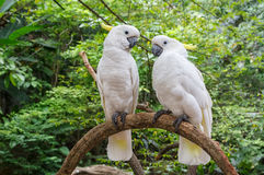 Cute couple of white Cockatoo (Cacatua galerita) Stock Photos