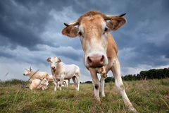 Cute cow on pasture close up Stock Image