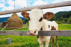 Cute cow portrain close up Royalty Free Stock Photo