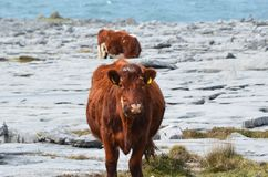 Countryside of Burren with a few cows grazing. Cute cows grazing in the countryside of burren Royalty Free Stock Photos