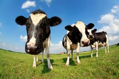 Cute cows on green pasture via wide angle. Over blue sky Royalty Free Stock Images