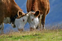 Cute cows in the Swiss Alps. The Swiss countryside. Cute cows in the mountains on a beautiful sunny day. Cows in the Swiss Alps. The Swiss countryside. A couple stock photo