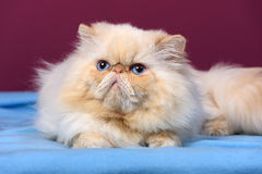 Cute cream colorpoint persian cat is lying on a blue bedspread Stock Photos