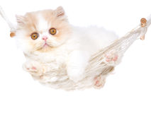 Cute Cream Persian kitten in hammock Royalty Free Stock Photography