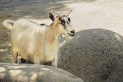 Cute creme color goat. Looking at camera, standing in the shade between rocks Royalty Free Stock Photos